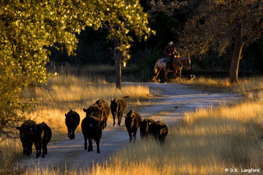 Robin Giles brings yearling heifers to the ranch's main pens in a photo from a new coffee-table book. Photo: Courtesy David K. Langford