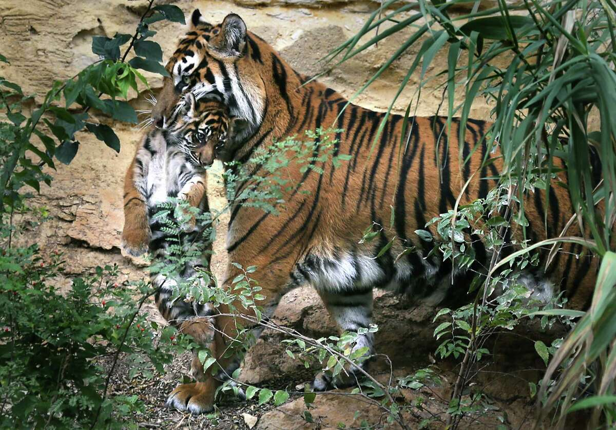 Kemala, the Sumatran tiger that gave birth to two Sumatran tiger cubs on Aug. 3, carries one of her cubs in the display area they now occupy at the San Antonio Zoo. Tuesday, Nov. 5, 2013