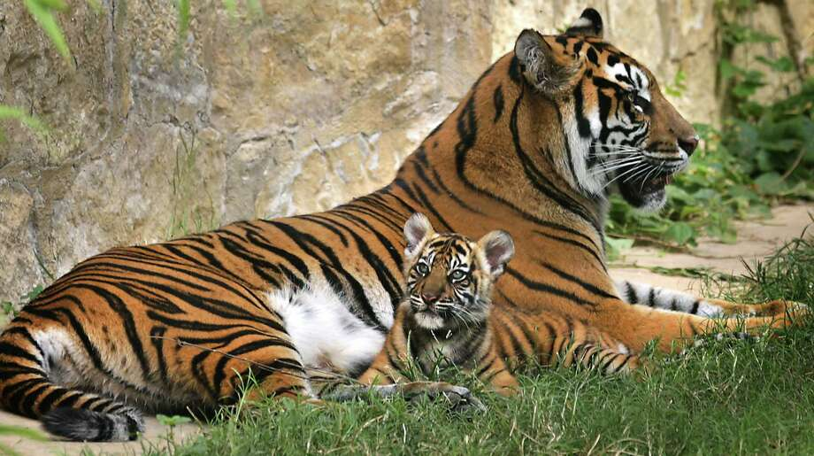 Kemala, the Sumatran tiger that gave birth to two cubs on Aug. 3, with one of her cubs in their new home at the San Antonio Zoo.  Tuesday, Nov. 5, 2013 Photo: BOB OWEN, San Antonio Express-News / © 2012 San Antonio Express-News