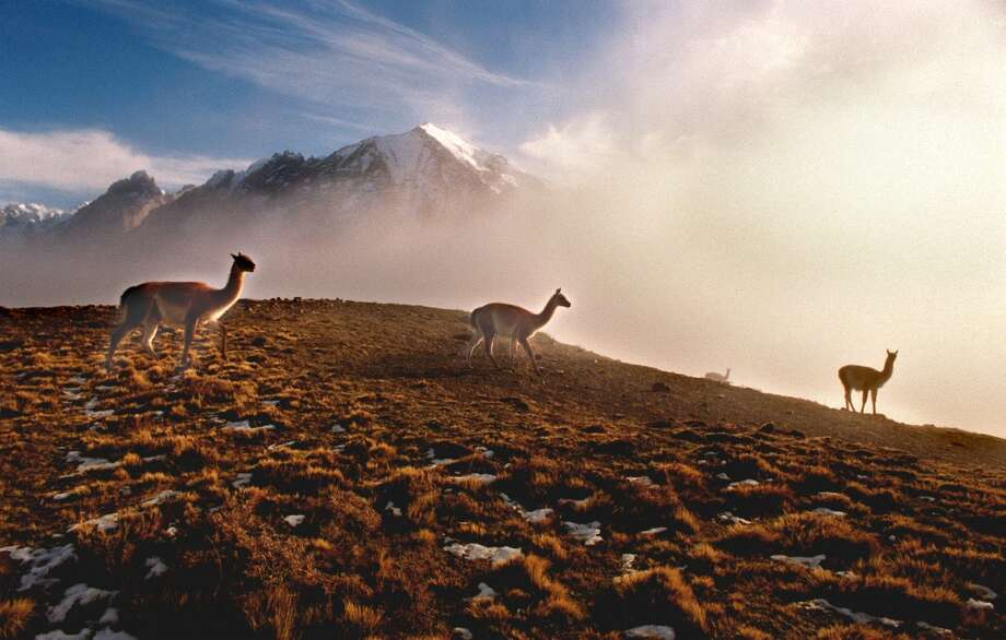 The protected llama-like mammals known as  guanacos head over a foggy ridge with Torres del Paine National Park in the background . About 3,000 of the  indigenous animals roam through the park and often come to the foothills outside its boundaries to feed during winter. Photo: Tim Chapman, Getty Images