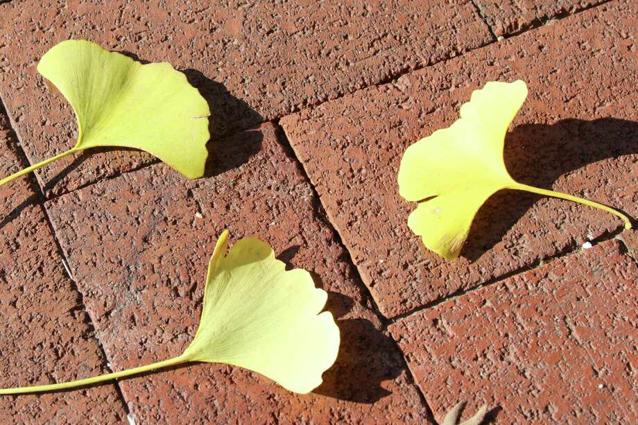 These fan-shaped leaves fell from one of the large ginkgo trees behind the Smithsonian Castle in Washington, D.C.