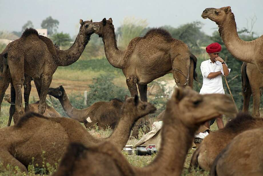 Dear dromedary: When Faraz the camel herder isn't looking, Kumar and Padma carry on their torrid affair. (Annual cattle fair in Pushkar, India.) Photo: Deepak Sharma, Associated Press