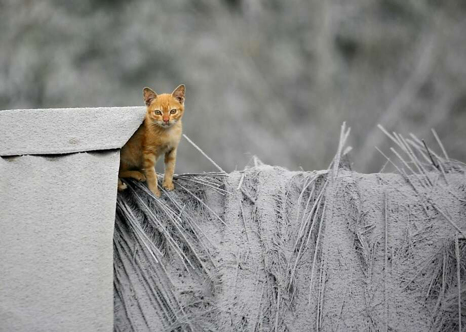 Orange fur in a gray landscape:In Mardingding, North Sumatra, everything is blanketed with volcanic ash from the latest eruption of Mount Sinaburg, with the exception of one kitten. Photo: Binsar Bakkara, Associated Press