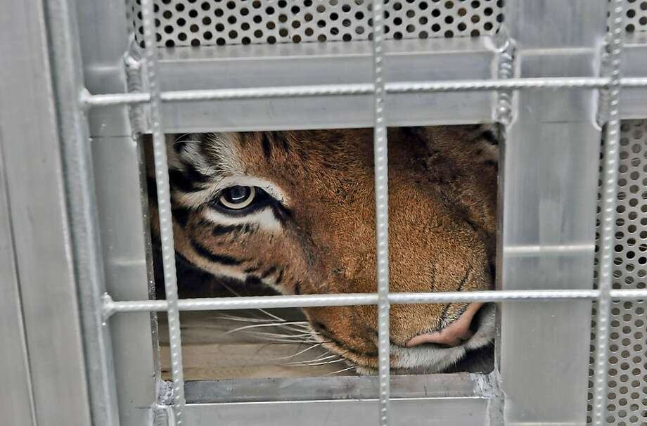 A better life awaits:Radja peeks through her transport cage after being rescued from a traveling circus in Weilburg, Germany. Four Paws Animal Welfare Foundation transferred her and five other seized tigers to the Lionsrock Big Cat Sanctuary in South Africa. Four Paws cares for 81 lions, 16 tigers and other big cats at the sprawling sanctuary. Photo: Mihai Vasile, Associated Press