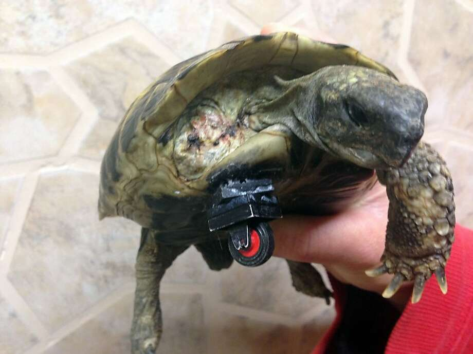 Now able to burn rubber: After losing her right foreleg in an accident, Schildi the turtle couldn't move around at her home in Neuried, Germany. So an enterprising vet named Marcellus Burkle took a piece from his daughter's LEGO collection and glued it to Schildi's shell. The original prosthesis had a double wheel, which proved difficult for cornering. He replaced it with a single wheel, and now Schildi can peel out and do doughnuts. Photo: Christoph Veeser, AFP/Getty Images