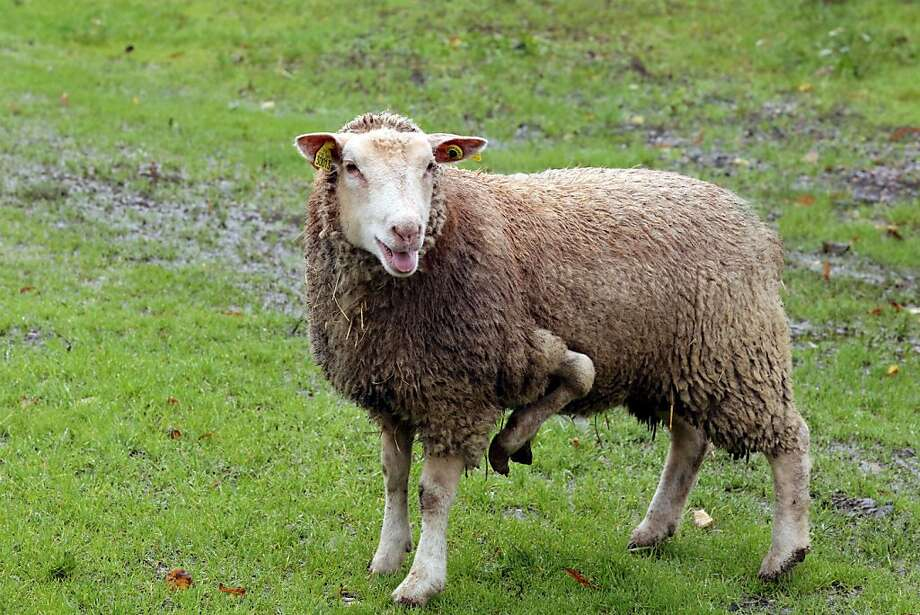 Go to EweBid.com:The owner of this five-legged sheep in Condeon, France, is hoping to sell on the Internet. Photo: Nicolas Tucat, AFP/Getty Images