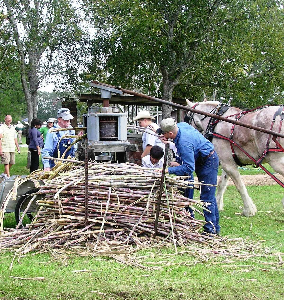 An Armand Bayou Nature Center employee feeds sugarcane stalks into cane press in preparation for making sugarcane syrup