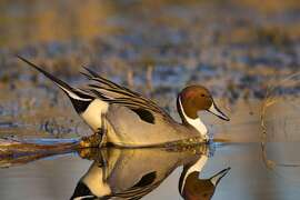 "Northern pintail, also called ""Sprig,"" the common duck in the Sacramento Valley right now, has a mirror image on pond at Colusa National Wildlife Refuge"