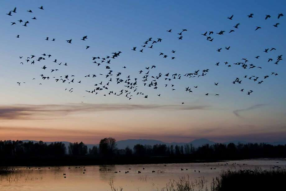 A large flock of geese rises into the sky at dusk above Colusa National Wildlife Refuge in the Sacramento Valley. Photo: Mike Peters