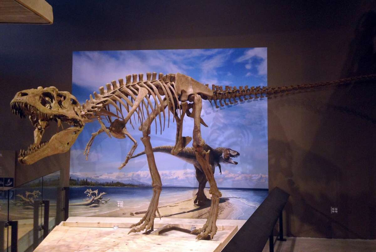 The skeletal replica of new dinosaur Lythronax argestes was unveiled at the Natural History Museum of Utah on Nov. 6, 2013. Paleontologists say the bone-crushing tyrannosaur proves that T. rex lived 10 million years earlier than previously believed.