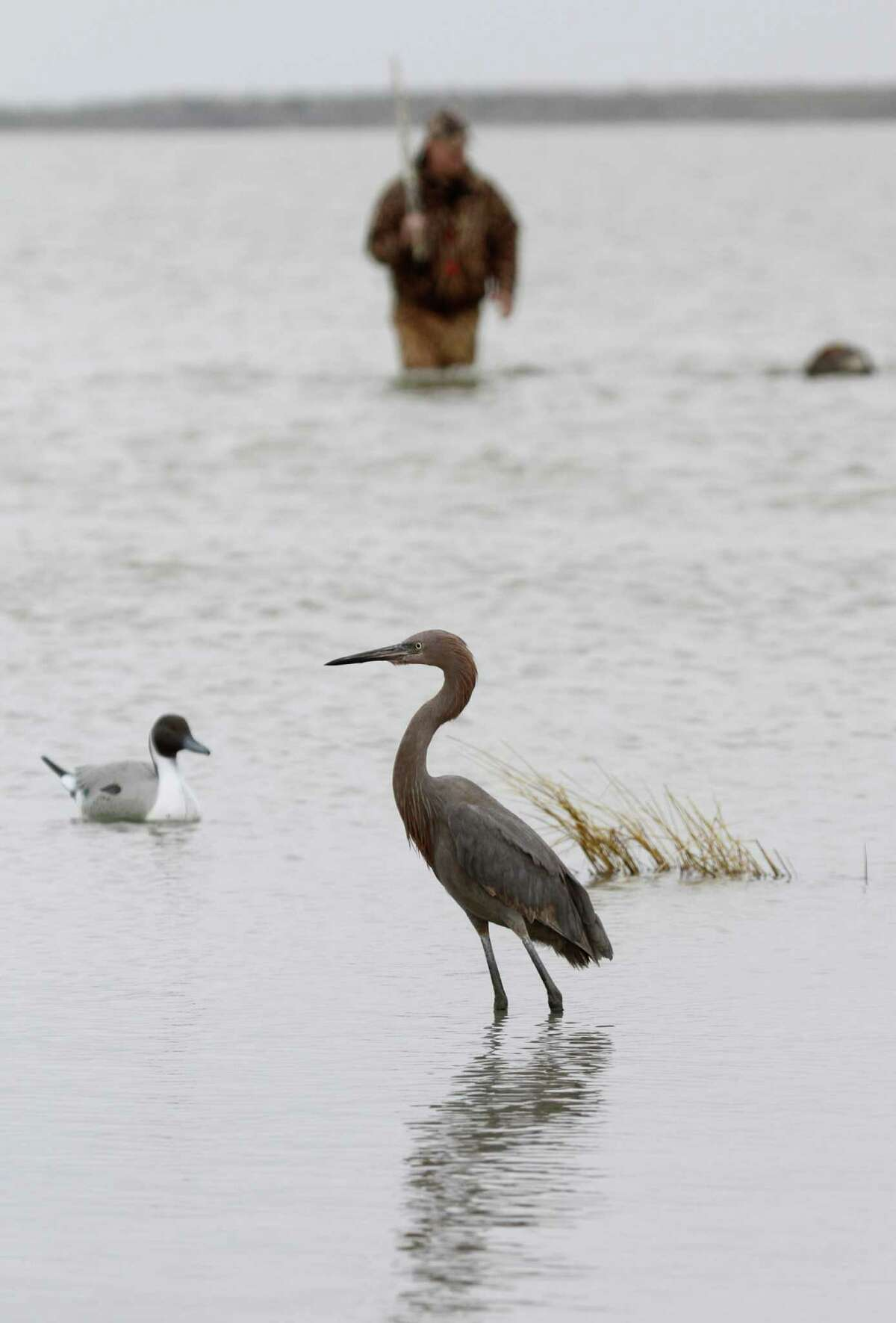 Texas waterfowlers are blessed with opportunities to witness the intriguing lives of a variety of wildlife, such as reddish egrets that have a unique method of fishing.