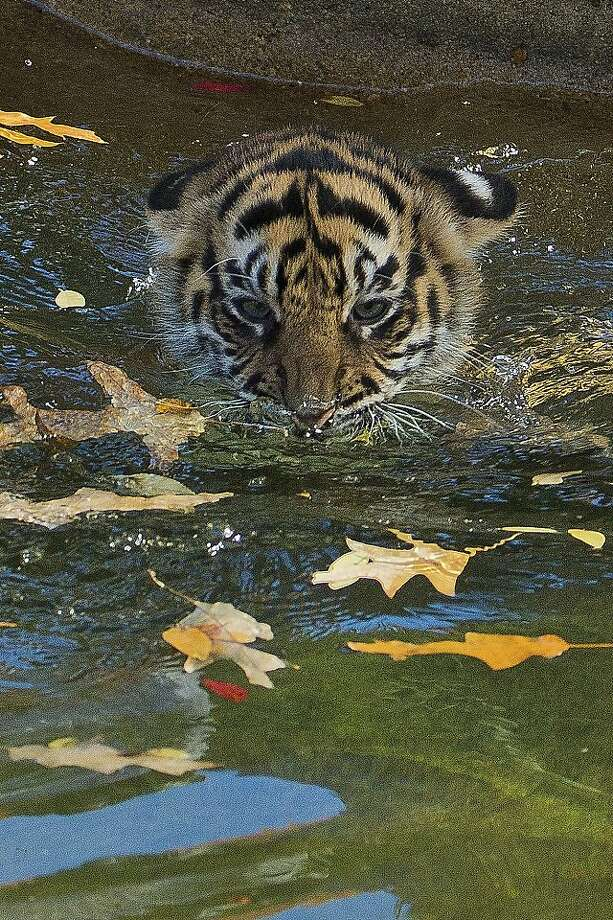 "A three-month-old Sumatran tiger cub named ""Sukacita"" paddles across the tiger exhibit moat during her swim reliability test at the National Zoo in Washington, Wednesday, Nov. 6, 2013. All cubs born at the zoo must take a swim test before being allowed to roam in the exhibit. Sukacita passed the test. (AP Photo/Manuel Balce Ceneta) Photo: Manuel Balce Ceneta, Associated Press"