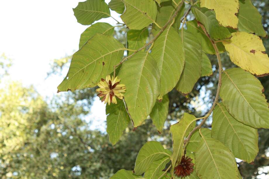 Seeds from the Camptotheca acuminata tree are used to formulate a second-line cancer drug called camptothecin. (San Antonio Zoo photos)