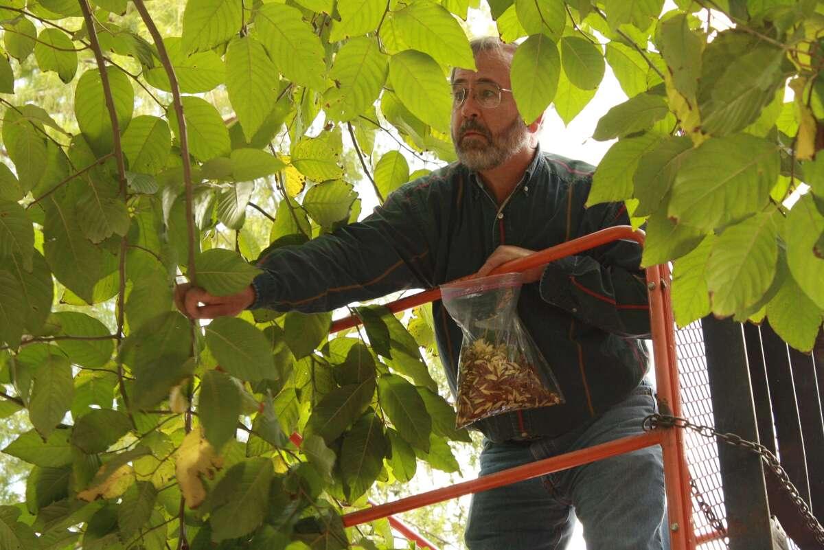 Thomas McKnight harvests seeds from the Camptotheca acuminata tree at the San Antonio Zoo. (San Antonio Zoo photos)