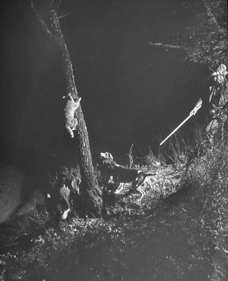 Fred Gipson and dogs running coon up a tree during hunt, 1949. Photo: Thomas D. McAvoy, Time & Life Pictures/Getty Image