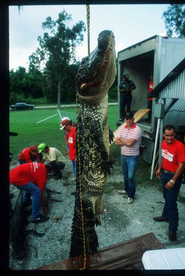 The winning gator in the Great Texas Alligator Roundup is on display during Gatorfest September 16, 1991 in Anahuac. Photo: Paul S. Howell, Getty Images