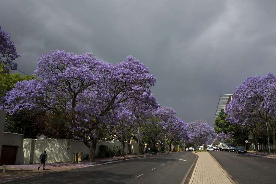 Purple peril:These blooming jacaranda trees in the streets of Johannesburg appear healthy enough, but looks are deceiving. A   deadly fungus has been eating away at the roots of the city's famed jacaranda, and many trees are dying. Photo: Alexander Joe, AFP/Getty Images