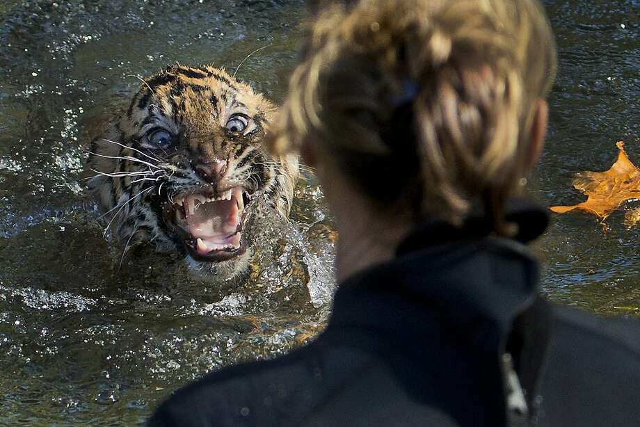 You tried to drown me!!Three-month-old Bandar, a Sumatran tiger cub, surfaces after being dunked in the tiger exhibit moat at the National Zoo in Washington. All cubs born at the zoo must take a moat swimming test before being allowed to roam the exhibit. Despite his outrage, Bandar passed. Photo: Manuel Balce Ceneta, Associated Press