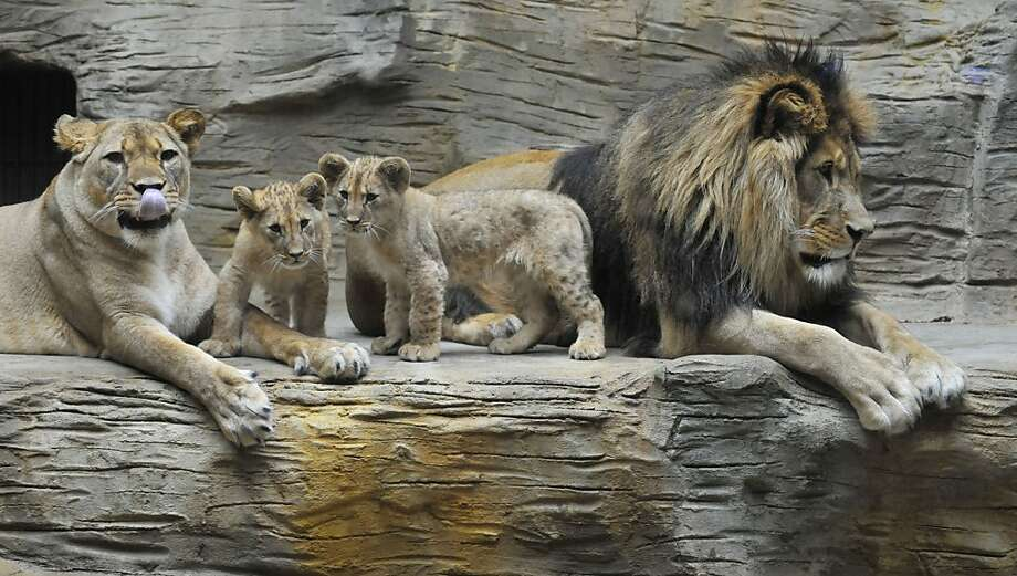 Seriously, Mom?! Lily thought it would be funny to do her Miley Cyrus impression for the Barbary lion family portrait at the zoo in Olomouc, Czech Republic. Photo: Ludek Perina, Associated Press