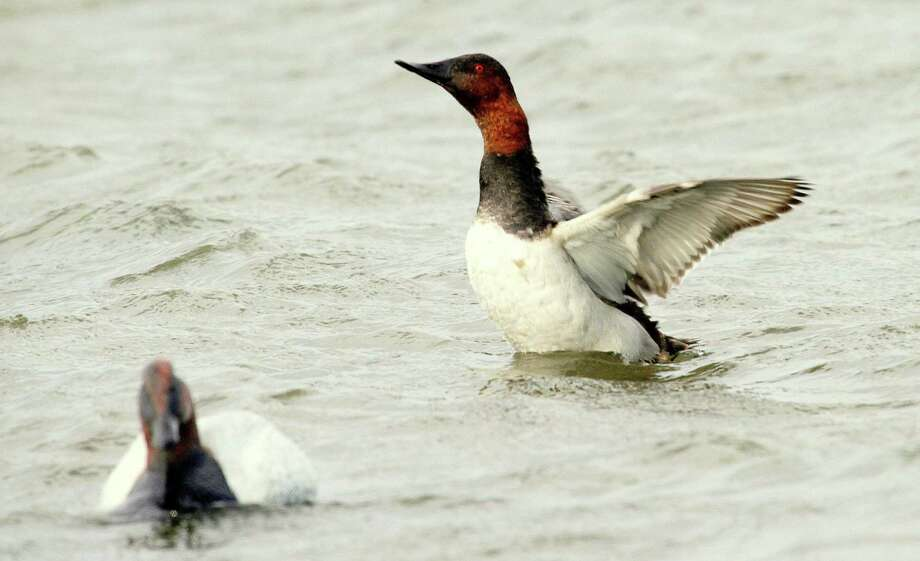 "Canvasbacks, nicknamed ""The King of Ducks"" by many waterfowlers, play on the surface of a lake. Beaumont Enterprise file photo Photo: Shannon Tompkins"