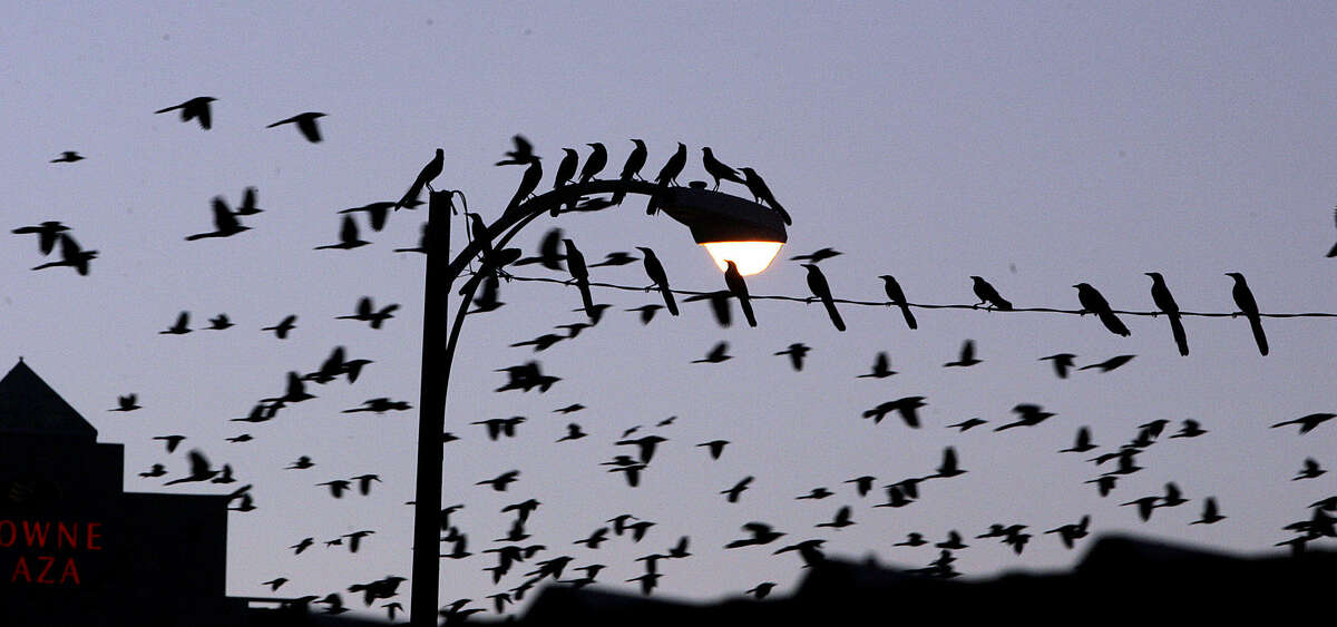 Thousands of grackles fill the evening sky in downtown San Antonio. It's that time of year again.