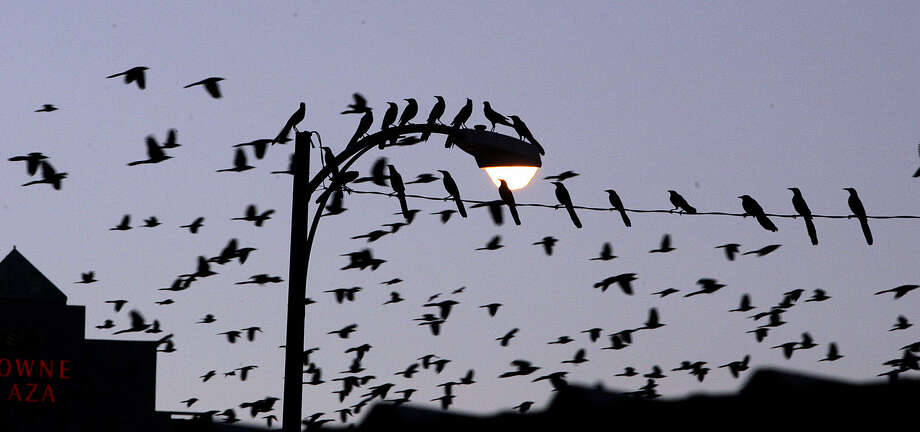 Thousands of grackles fill the evening sky in downtown San Antonio. It's that time of year again. Photo: Express-News File Photo