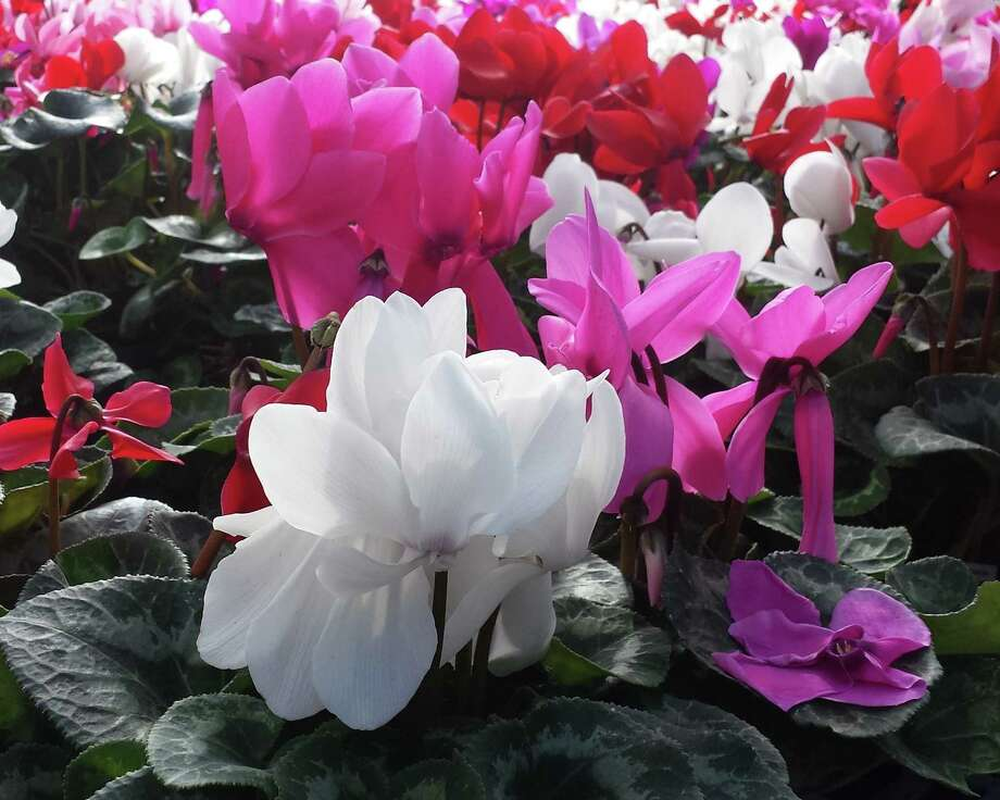 Cyclamen is a cool-weather annual that brings vibrant color to the landscape in fall and winter. Photo: Tracy Hobson Lehmann / San Antonio Express-News