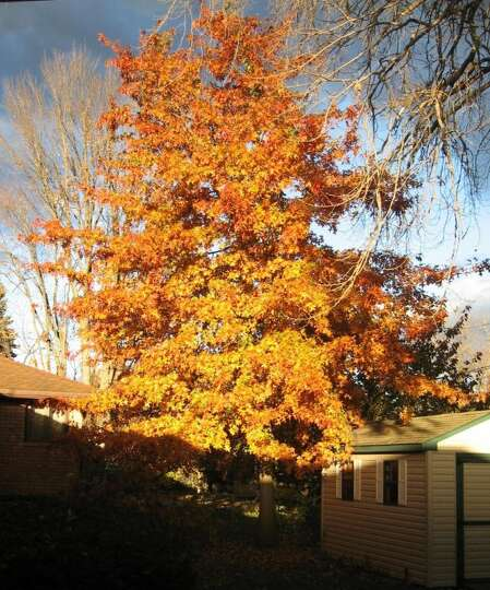Howard Picker of Albany was able to catch this image of a pin oak in his Ormond Street backyard when