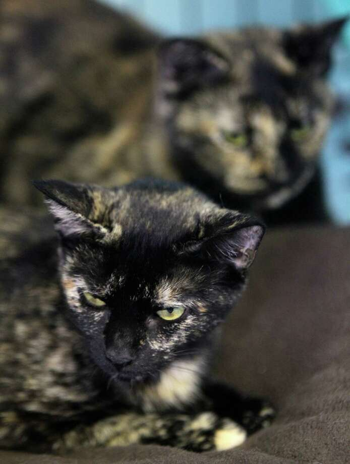Cats waits to be adopted at Save-a-Cat Rescue. Photo: Melissa Phillip, Houston Chronicle / © 2013  Houston Chronicle