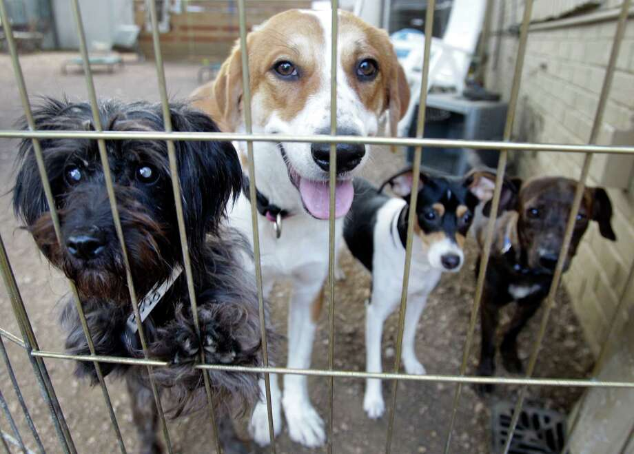 Dogs wait to be adopted at K-9 Angels Rescue. Photo: Melissa Phillip, Houston Chronicle / © 2013  Houston Chronicle
