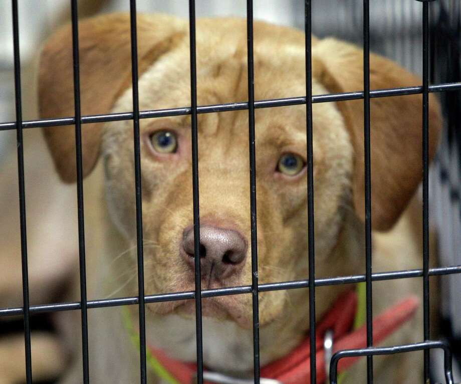 A dog named, Yerson waits to be adopted at K-9 Angels Rescue. Photo: Melissa Phillip, Houston Chronicle / © 2013  Houston Chronicle