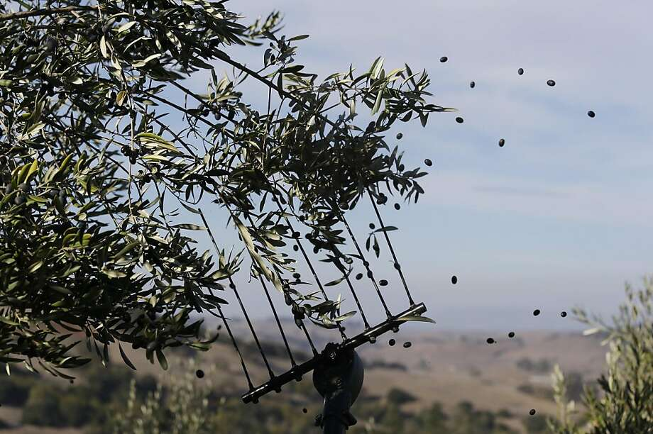 A comb sends Liccino olives flying during the annual harvest Thursday, Nov. 7, 2013, at the McEvoy Ranch in Petaluma, Calif. This year's harvest, which began earlier than usual on Monday, is expected to last three weeks. The olives are used to produce organic extra virgin olive oil. (AP Photo/Eric Risberg) Photo: Eric Risberg, Associated Press
