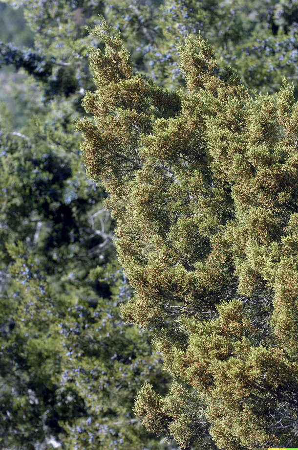 Ash juniper, known as cedar, can drive unprepared gardeners indoors. Photo: Express-News File Photo