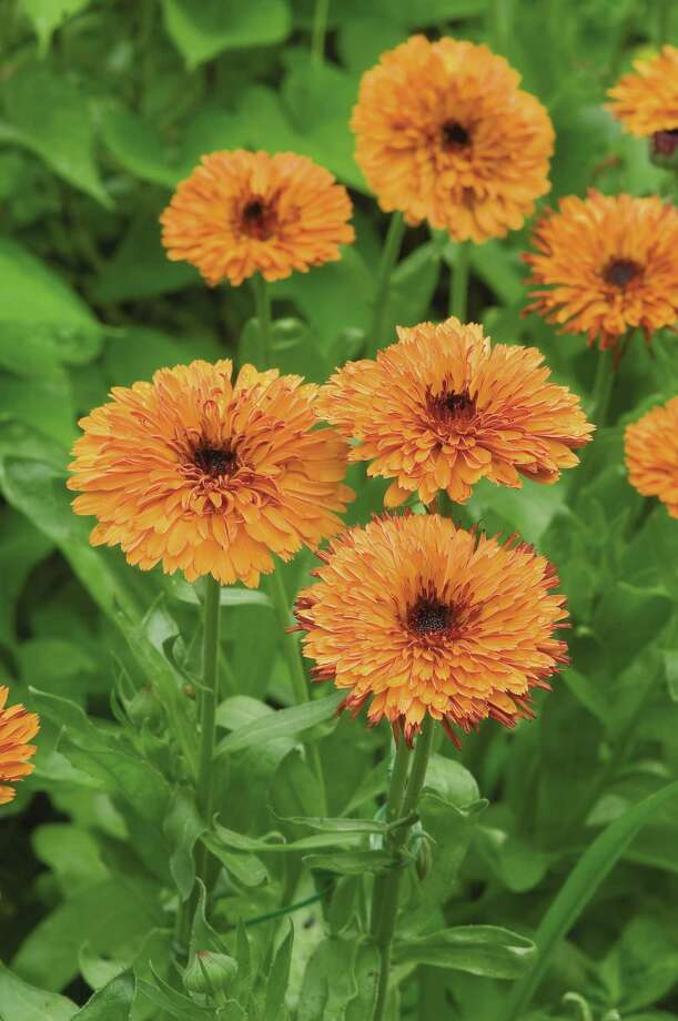 Calendulas prefer the cooler months, and the blooms are edible. Rob Cardillo photo Photo: Rob Cardillo, Photographer / DirectToArchive