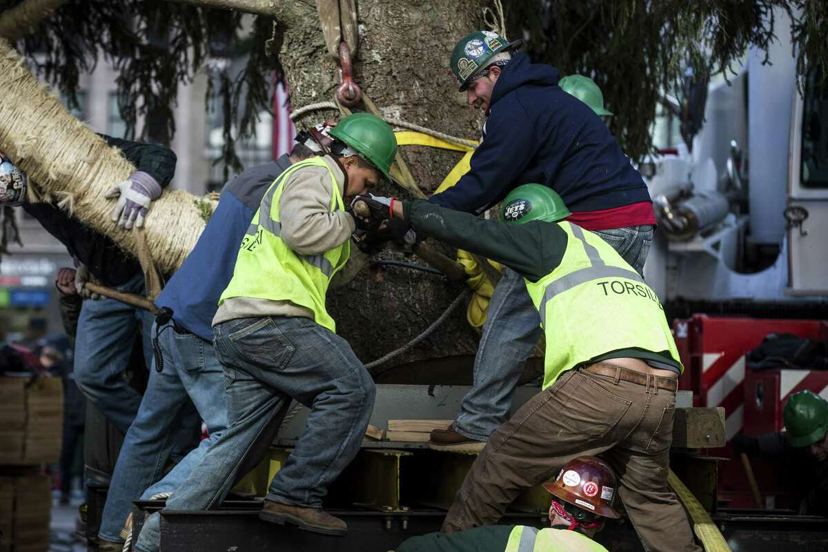 NEW YORK, NY - NOVEMBER 08: Workers position a 76-foot tall Norway Spruce, from Shelton, CT, into position as the 2013 Rockefeller Center Christmas Tree on November 8, 2013 in New York City. The tree comes from the Vargoshe family, it was likely planted in the 1950s. (Photo by Andrew Burton/Getty Images) ORG XMIT: 187493731