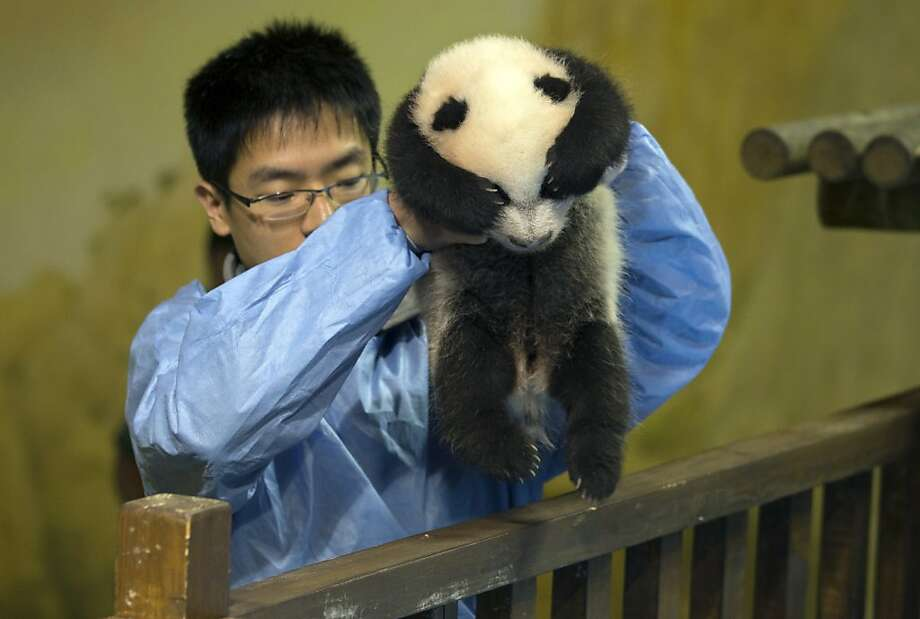 Fear of heights:Please don't drop me, please don't drop me … (Panda breeding specialist Chen Xin puts the baby to bed in his crib at the Madrid Zoo.) Photo: Paul White, Associated Press