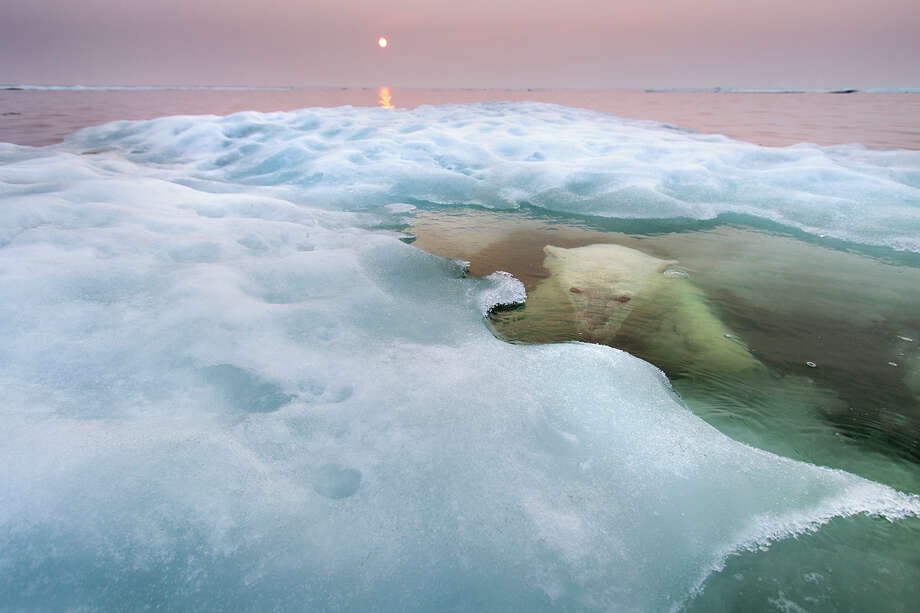 Paul SoudersWinner: Animals in Their EnvironmentThe fact that most images of polar bears show them on land or ice says more about the practical difficulties faced by humans than it does about the bears' behaviour. With adaptations such as thick blubber and nostrils that close, polar bears are, in fact, highly aquatic, and they spend most of their time hunting seals on sea ice and are capable of swimming for hours at a time. Paul took his Zodiac boat to Hudson Bay, Canada, in midsummer to rectify this bias. He scouted for three days before he spotted a bear, this young female, on sea ice some 30 miles offshore. 'I approached her very, very slowly,' he says, 'and then drifted. It was a cat-and-mouse game.' When the bear slipped into the water, he just waited. 'There was just a flat, world of water and ice and this polar bear swimming lazily around me. I could hear her slow, regular breathing as she watched me below the surface or the exhalation as she surfaced, increasingly curious. It was very special.' The light was also special, but for a sinister reason. The midnight sun was filtered through smoke from forest fires raging farther south, a symptom of the warming Arctic – the greatest threat facing the polar bear. As more and more sea ice melts earlier and earlier every spring, it becomes harder for the bears to hunt the seals they depend on. Photo: Paul Souders | WorldFoto, Wildlife Photographer Of The Year Is Co-owned By The Natural History Museum And BBC Worldwide / ©2012 PAUL SOUDERS | WORLDFOTO