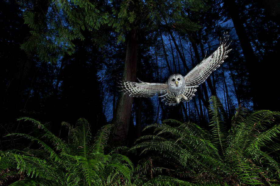 Connor StefanisonWinner: The Eric Hosking Portfolio AwardConnor's photography draws on the wilderness skills he acquired over a childhood spent largely outdoors. This female barred owl had a territory near his home in Burnaby, British Columbia. He watched her for some time, familiarising himself with her flight paths until he knew her well enough to set up the shot. 'I wanted to include the western red cedar and the sword ferns so typical of this Pacific coastal rainforest.' Setting up his camera near one of the owl's favourite perches, linked to a remote and three off-camera flashes, diffused and on low settings, he put a dead mouse on a platform above the camera and waited for the swoop that he knew would come. 'She grabbed the mouse, flew back to her perch and began calling to her mate. It is one of the most exciting calls to hear in the wild.' Photo: ©Connor Stefanison, Wildlife Photographer Of The Year Is Co-owned By The Natural History Museum And BBC Worldwide