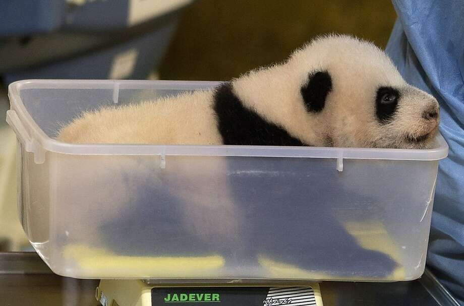 Don't forget to burp it:Weighing baby pandas is just one of the many uses for Tupperware® at the Madrid Zoo. Photo: Paul White, Associated Press