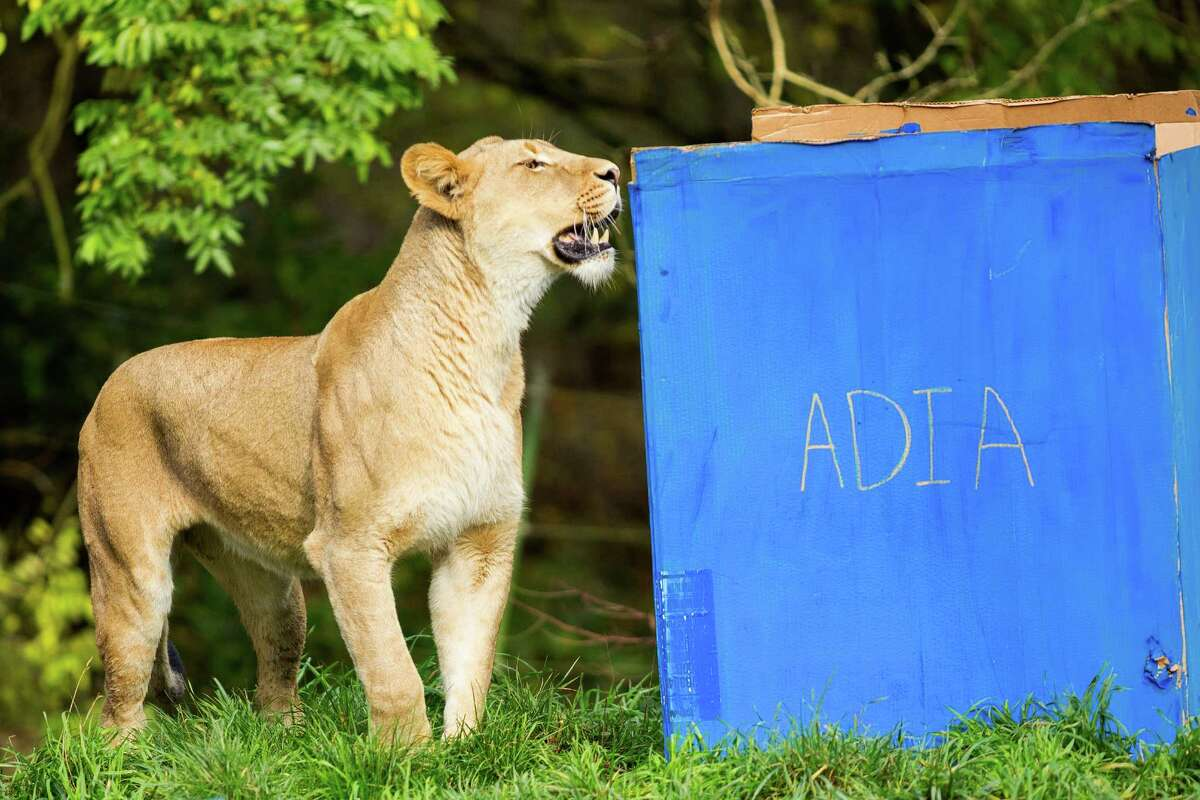 Woodland Park Zoo's quadruplet lion cubs Nobuhle, Busela, Pelo and Rudo turned 1 with a surprise birthday of meats and bloodsicles - or frozen carnivore ice pops - hidden in gift boxes Friday at Woodland Park Zoo in Seattle. The cubs were joined by their mother, Adia.
