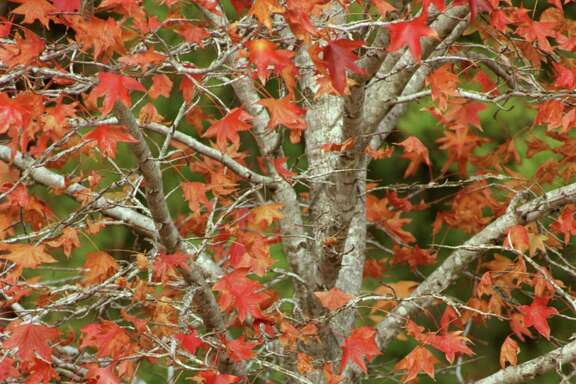 Sweet gum trees not only are native to this area, they also offer brilliant fall leaves.