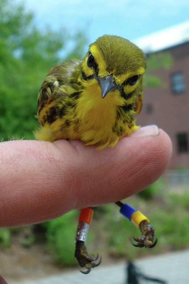 Prairie warblers are expected to be one of the wildlife species to benefit from tree thinning in the Albany Pine Bush Preserve. (Courtesy Albany Pine Bush Preserve Commission.)