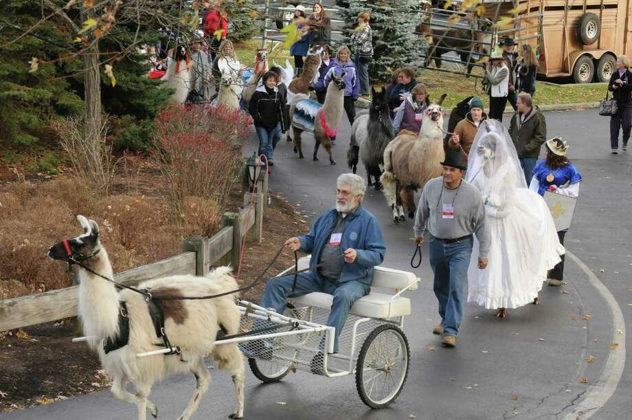 Llamas and their owners parade on the grounds of The Century House as part of the Greater Appalachian Llama and Alpaca Association annual conference on Saturday Nov. 9, 2013 in Latham, N.Y. (Michael P. Farrell/Times Union) Photo: Michael P. Farrell / 00024554A