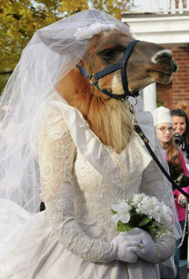 A llama named Cinnamon, owned by Jeff Carminati of Ballston Spa, dressed in a bride costume parades on the grounds of The Century House as part of the Greater Appalachian Llama and Alpaca Association annual conference on Saturday Nov. 9, 2013 in Latham, N.Y. (Michael P. Farrell/Times Union) Photo: Michael P. Farrell / 00024554A