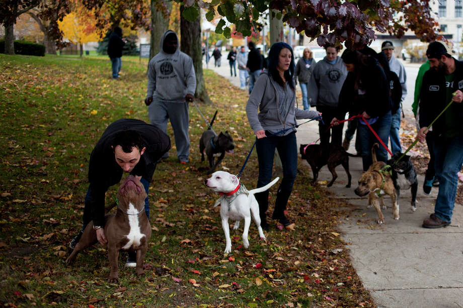 A man plays with a pit bull as owners and their dogs walk laps around City Hall in Flint, Mich. on Saturday afternoon, Nov. 9, 2013 to protest and raise awareness against the new pit bull registration proposal. Photo: Zack Wittman, AP / The Flint Journal