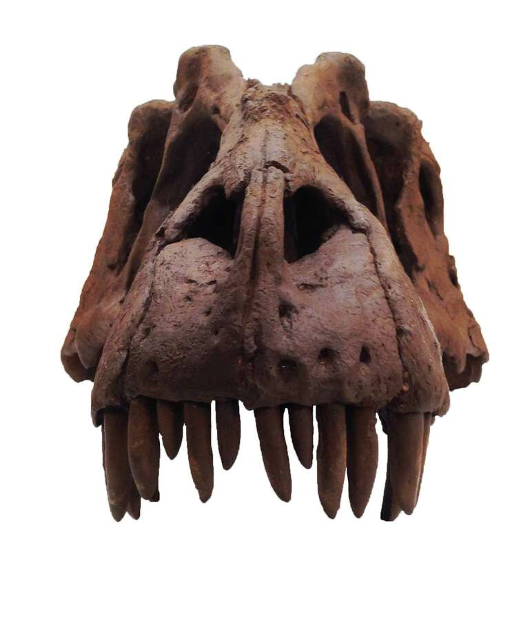 This photo released by the Natural History Museum of Utah, shows a front view of the skull of the fossilized skeleton of a newly-discovered dinosaur, Lythronax argestes, which was found in southern Utah, and now on the display at the museum in Salt Lake City. Paleontologists who made the discovery believe the dinosaur lived 70-95 million years ago in the late Cretaceous Period, living on a landmass in the flooded the central region of North America. Photo: Mark Loewen, AP / AP2013