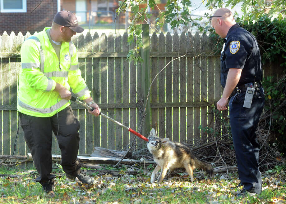 Animal Control Officer Wayne McElvain, with the Daviess County Animal Shelter, transports a coyote, Canis latrans, as officer Brandon Rose, with the Owensboro Police Department, assists Friday Nov. 8, 2013, at 159 Shelly Drive. Home owner Melanie Hardesty said their dog fought with the coyote a couple of days ago. She called the police and the animal control was dispatched to her home. There were no injuries to her dog. The coyote will be in quarantine for 14 days, according to McElvain. Photo: John Dunham, AP / The Messenger-Inquirer