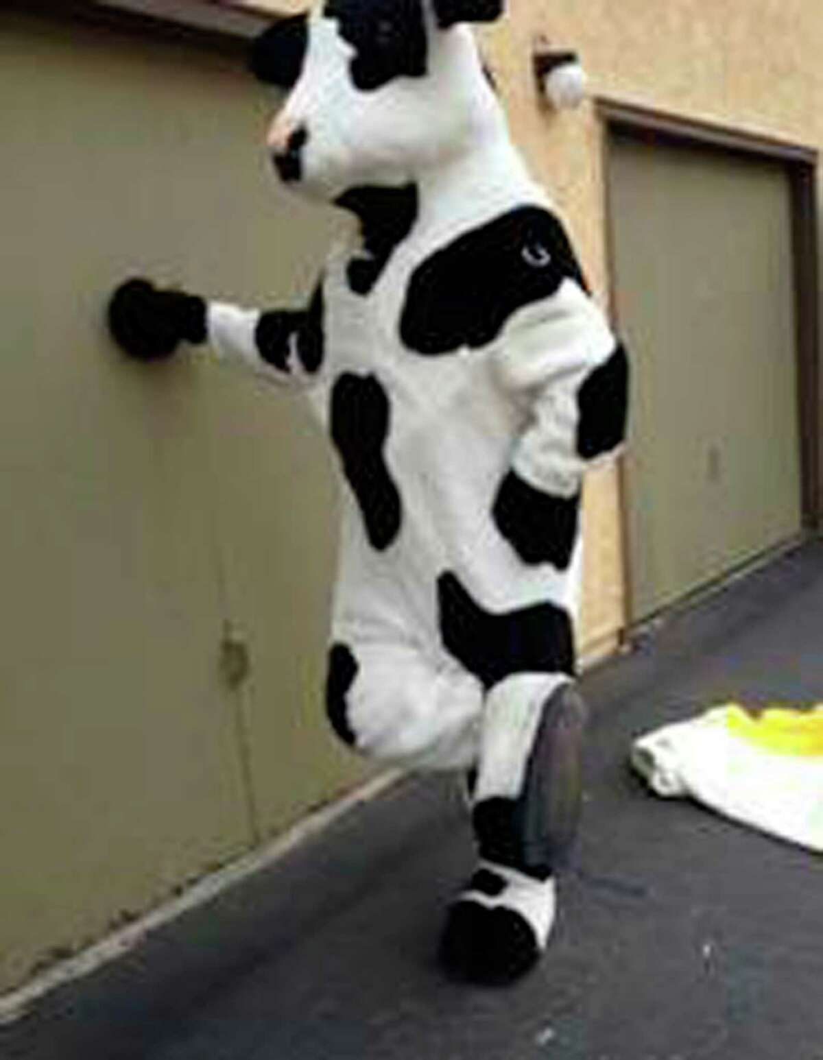 This undated photo released by the Redlands, Calif., Police Department, shows an unknown person posing in a stolen cow costume in San Bernardino, Calif., for an ad that was seen by police on Craigslist. Redlands police said two 7-foot cow costumes created for the Chick-fil-A chain were nabbed in separate restaurant burglaries, turned up for sale for $350 apiece on Craigslist in late October. An undercover officer arranged to buy the bovine attire in time for Halloween, and when the seller produced the black-and-white outfits he was arrested on Oct. 30, 2013. Robert Michael Trytten, 43, of Riverside, is being held on suspicion of possession of the stolen property on $275,000 bail.