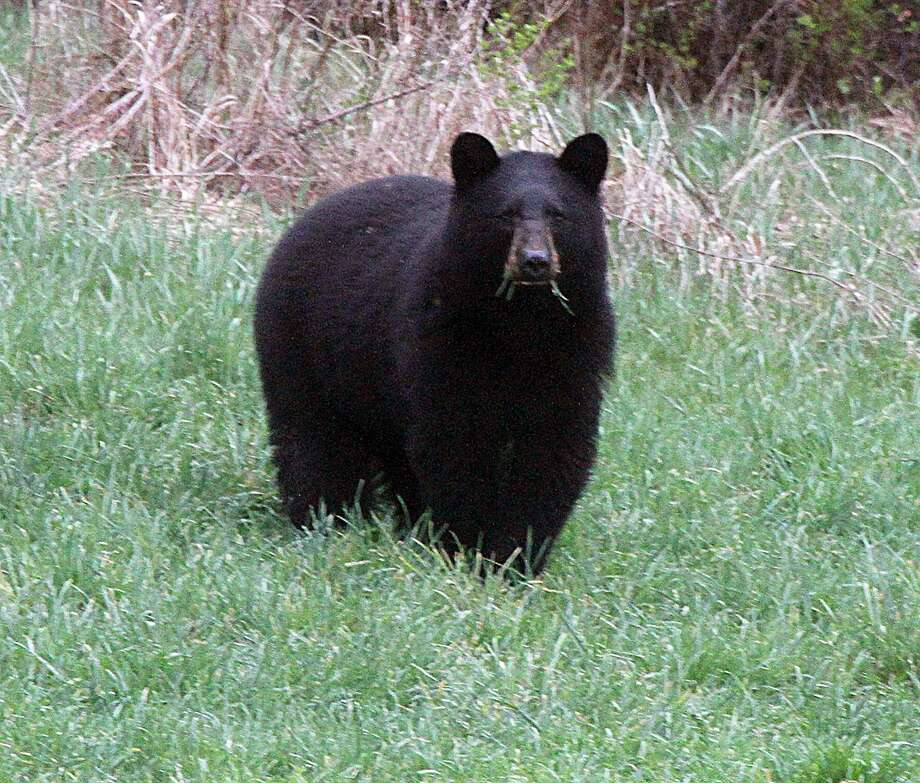 In this April 22, 2012 file photo, a black bear grazes in a field in Calais, Vt.   Vermont wildlife officials are asking bear hunters to perform a little dentistry on their prey. The Vermont Fish and Wildlife Department wants bear hunters to contribute a tooth from their kill to a study on the state's bear population. The tooth will be used to determine the age of the bear and will assist officials in pegging the status and health of the bear population. Photo: Toby Talbot, AP / AP