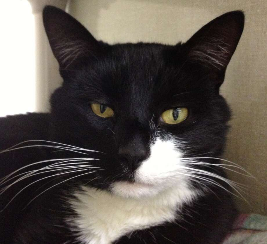 Boots is a handsome and sweet two-year-old with long, shiny white whiskers and striking black and white markings. (Marguerite Pearson)